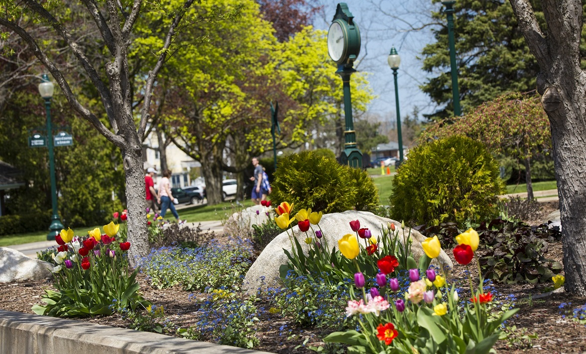 A picture of beautiful tulips in downtown Petoskey